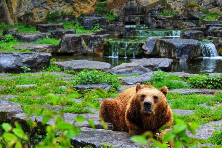 Bruine beer bij wildpark Han-sur-Lesse
